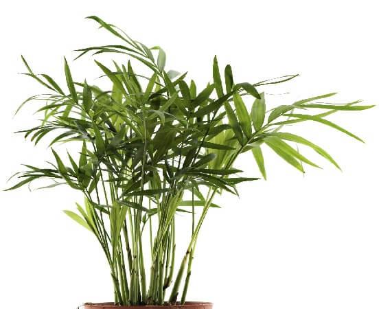 Broad Lady Palm ब्रॉड लेडी पाम  Bamboo Palm