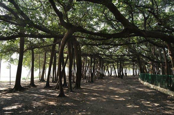 World Oldest Banyan Tree