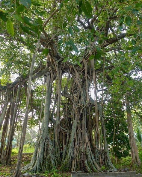 banayan tree