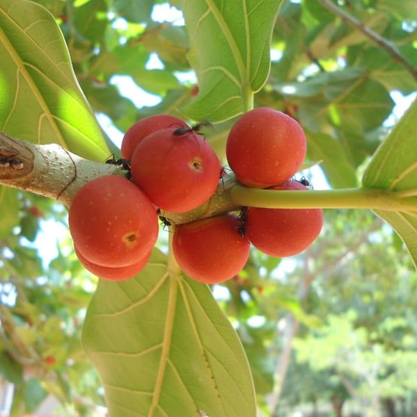 banyan tree fruit