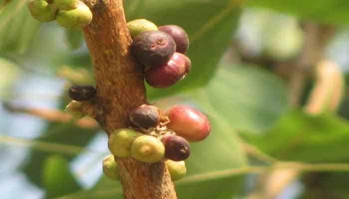 Peepal Tree Fruit